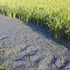 A Cracked Earth Pathway.<br /> Through a rice field.