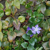 A Purple Flower.<br /> On a wall near the pink Sakura trees in Yodo, Fushimi-ku, Kyoto-shi.