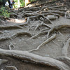 Gnarled Roots.<br /> On Kurama-yama (Mt. Kurama).