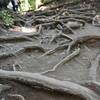 Gnarled Roots.<br /> On Kurama-yama (Mt. Kurama).