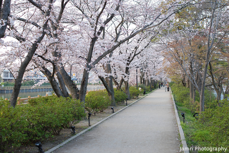 Sakura along the Path.<br /> At Nagaoka Tenmangu Shrine Park.