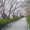 Sakura along the Path.<br /> At Nagaoka Tenmangu Shrine Park.