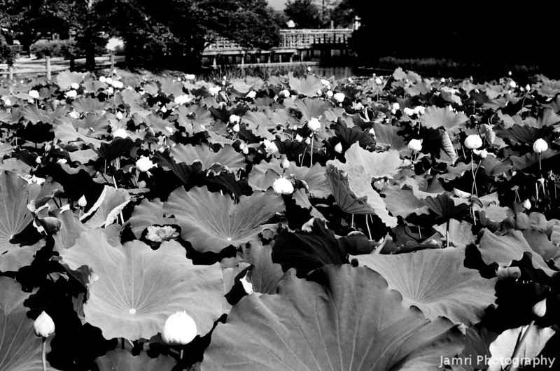 Lotus Plants in Pond.<br /> At Nagaoka Tenmangu Shrine.<br /> Note Film Shot: Nikon F80 + 50f/1.8 + Orange Filter + Fujifilm Neopan Acros