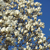 Lots of Blooms.<br /> A Magnolia Tree.
