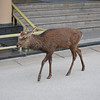 Mandatory Deer Photo!<br /> When you go to either Miyajima or Nara, you've got to get at least one deer photo.