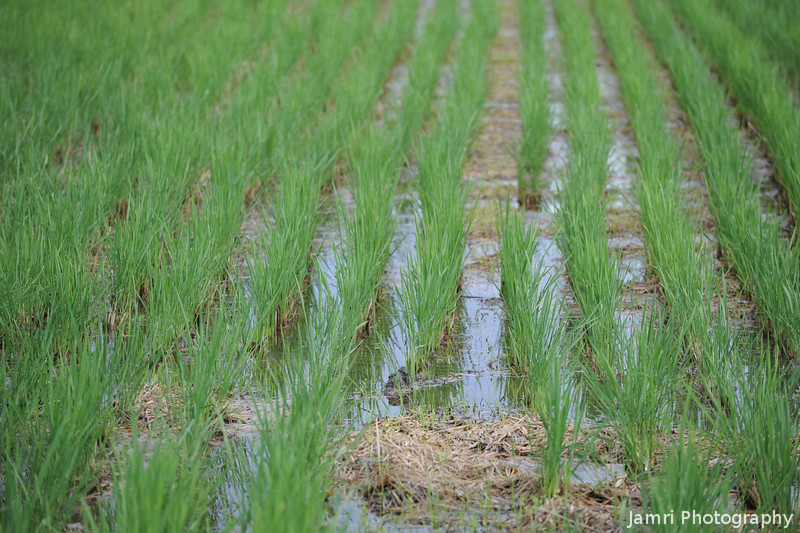 New Shoots.<br /> These rice stalks are new ones that a popped up after the rice has already been harvested.
