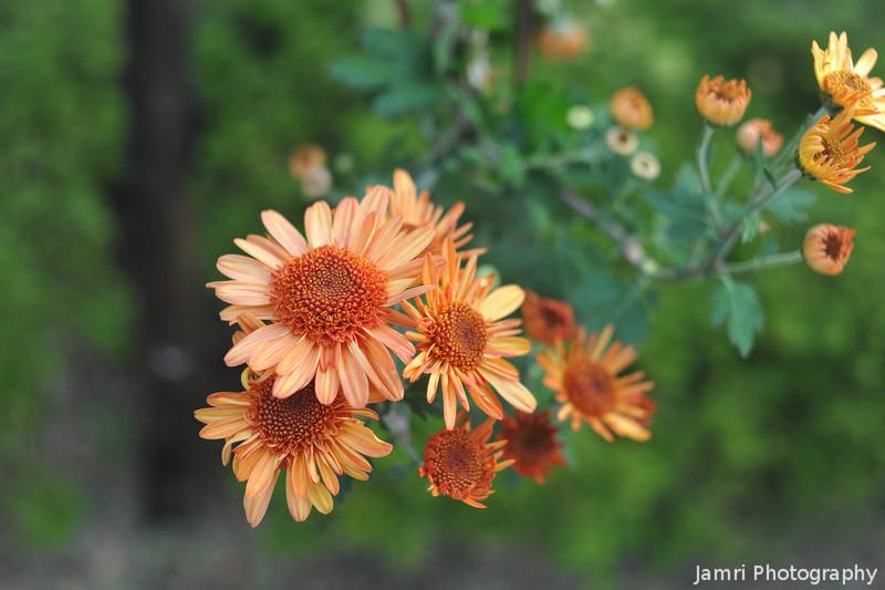 Orange Chrysanthemums.