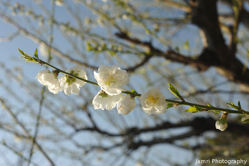 The Joy of Spring.<br /> Peach (Momo) Blossoms on a Sunny Day.