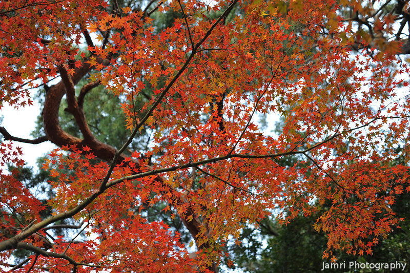 Bright Maple Colour.<br /> Catching a little bit of sunlight.