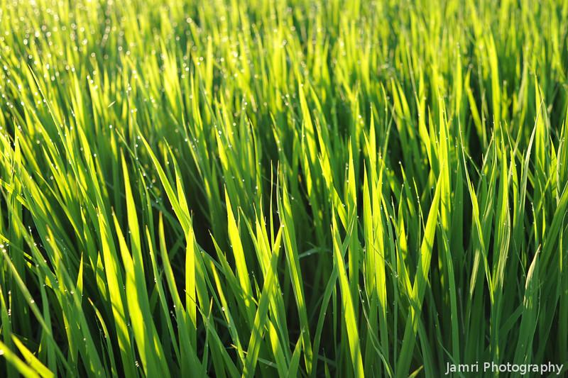 Backlit Blades of Rice Shoots.<br /> Just after Sunrise.