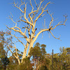 Dead Tree in Golden Light.<br /> Near the Thornlie Train Station.