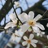 Magnolia obovata?<br /> Passed this tree on the way to the markets at Toji.<br /> Note Film Shot: Nikon F80 + Nikkor AF 35 f/2 + Circular Polariser + Fujicolor PRO400