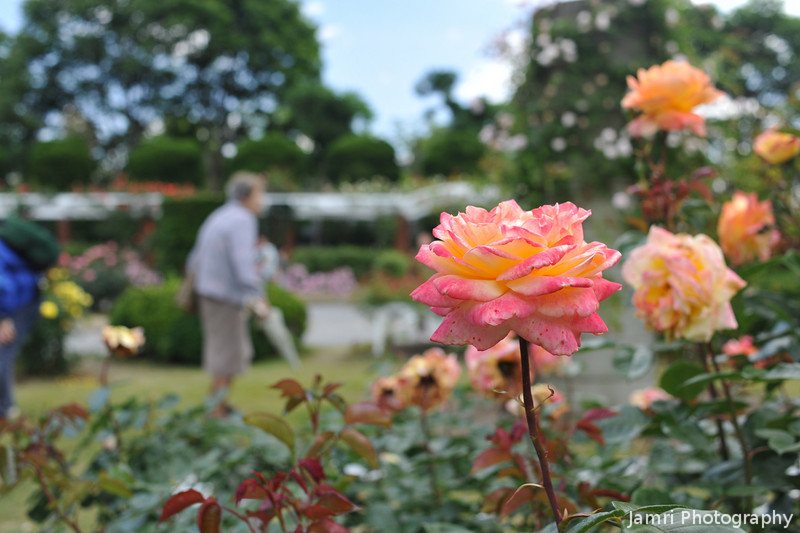 A beautiful day for viewing the Roses.<br /> At the Kyoto Botanical Gardens.<br /> Note: Circular Polarising Filter Used.