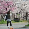 Photographing a peach blossom and Sakuras.<br /> At Osaka Castle Park.