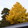 Ginkgo catching Golden Light.<br /> Photo by Ritsuko.