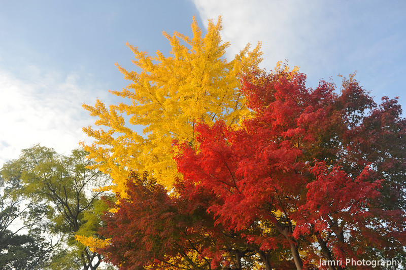 Primary Colours.<br /> Red of the Japanese Maple (Momiji). Yellow of the Ginkgo (Ichou).