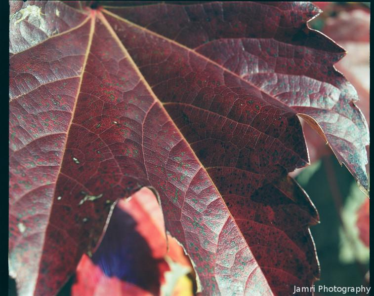 Close up of a leaf on a vine.<br /> Note Film Shot: Mamiya RB67 & Mamiya-Sekor 90mm f/3.8 Lens Fujicolor PRO400 Film.