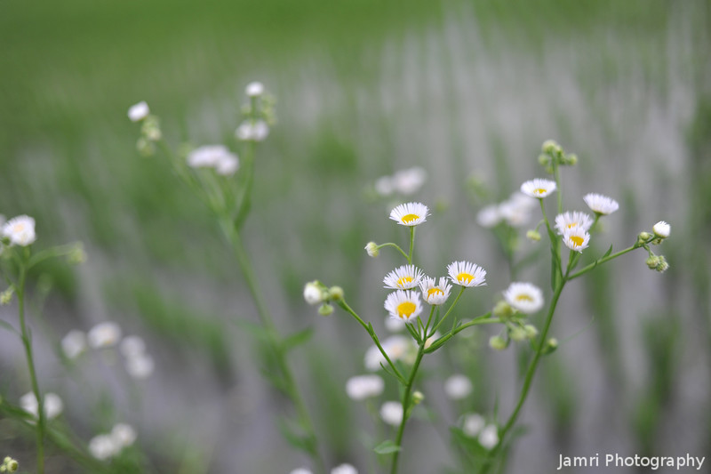 White Flowers by a Rice Field.