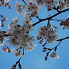 Sakura, Sakura...<br /> You're going to get a lot of Sakura photos for a while to come!