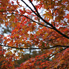 Up close to the Maples.<br /> At the Kyoto Imperial Palace Park.