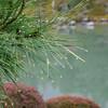 Pine Needles and Raindrops.<br /> At Tenryu-ji (a Zen Buddhist Temple) in Arashiyama, Kyoto.