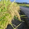 Rice by the Roadway.