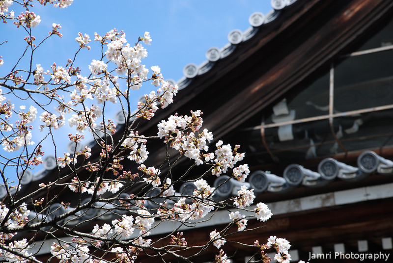 Sakura in Front of Temple Roof.<br /> At Nanzenji (a Buddhist Temple) in Keage, Kyoto.