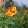 Orange Cosmos.<br /> These are the first of the Cosmos to bloom, the others don't come out until October.<br /> Note Film Shot: Mamiya RB67 & Mamiya-Sekor 90mm f/3.8 Lens & Fujicolor Reala 100