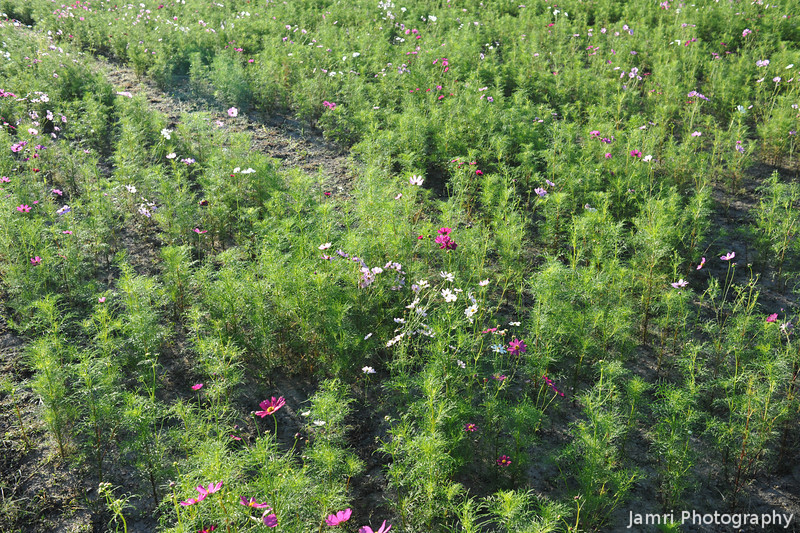 Field of Cosmos Flowers in the Early Stages.
