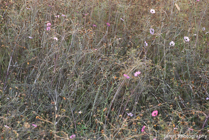 The Cosmos are Dying!<br /> The Autumn flowers die out as winter starts to set in.