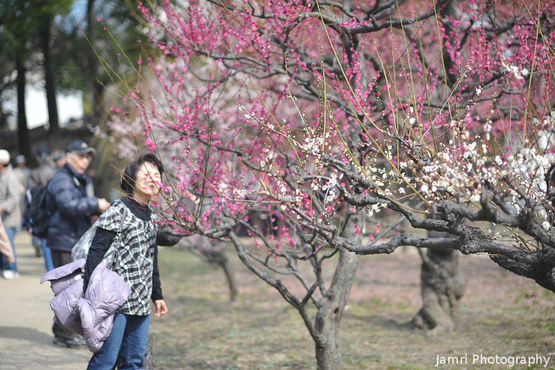Stopping to smell the Ume.<br /> It has a similar smell to roses.