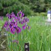 Early Irises.<br /> At the Kyoto Botanical Gardens.