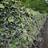 An Ivy Hedge.