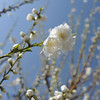 Reaching High.<br /> Peach (Momo) Blossoms at Osaka Castle Park (Osaka-jo Koen).