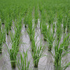 Endless Rice Field.<br /> Not really, unless you let you imagination run wild a bit!