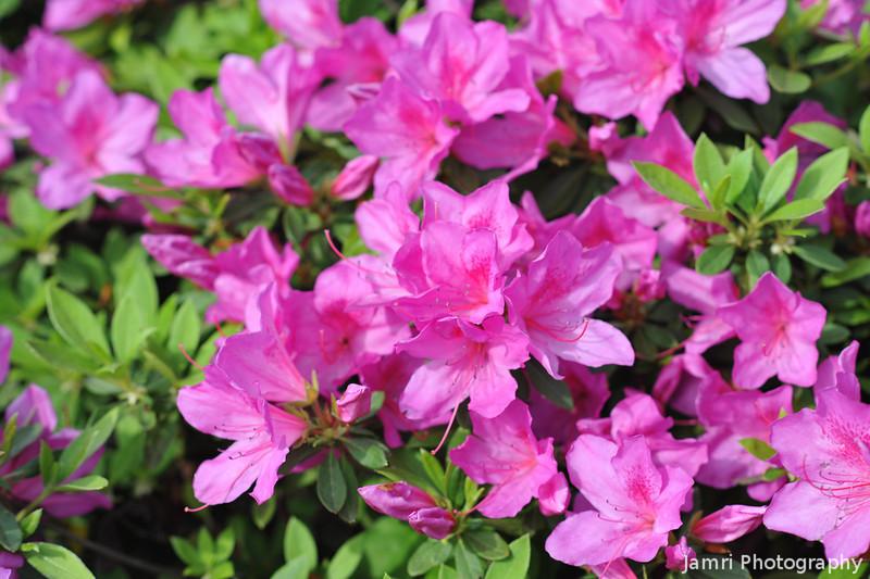 Pink Azaleas.