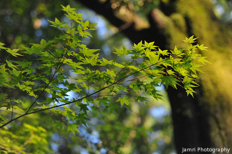 Green Leaves.<br /> Of a Japanese Maple.