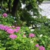 The colours of Hydrangeas.