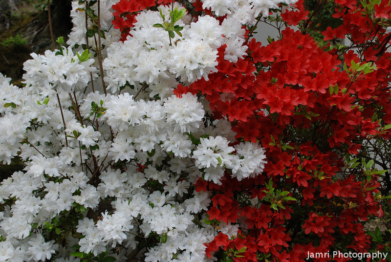 White and Red Azaleas.