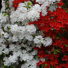 White and Red Azaleas.