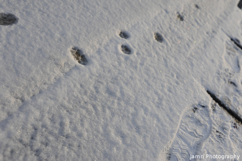 Paw Prints in the Snow.