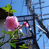 Close up of a rose<br /> Outside one of my neighbour's house.