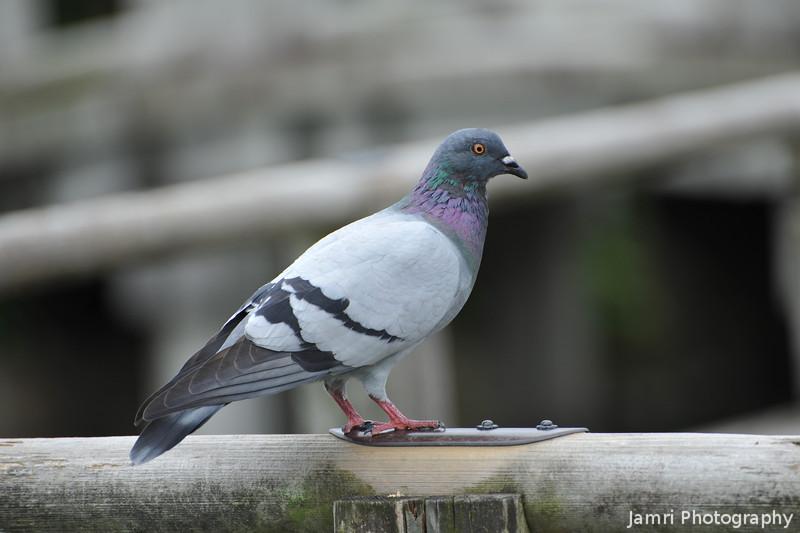 Poised Pigeon.<br /> At Nagaoka Tenmangu Shrine Park, Nagaokakyo, Japan.