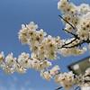 Anzu (Apricot Blossoms).<br /> Another photo taken on my walk to Izumiya.<br /> Note Film Shot: Nikon F80 + Nikkor AF 35 f/2 + Fujicolor PRO400