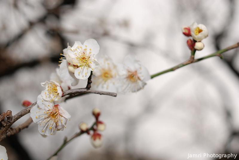 More Plum Blossoms (Ume).