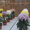The Big Chrysanthemums (aka Jelly Fish Flowers).