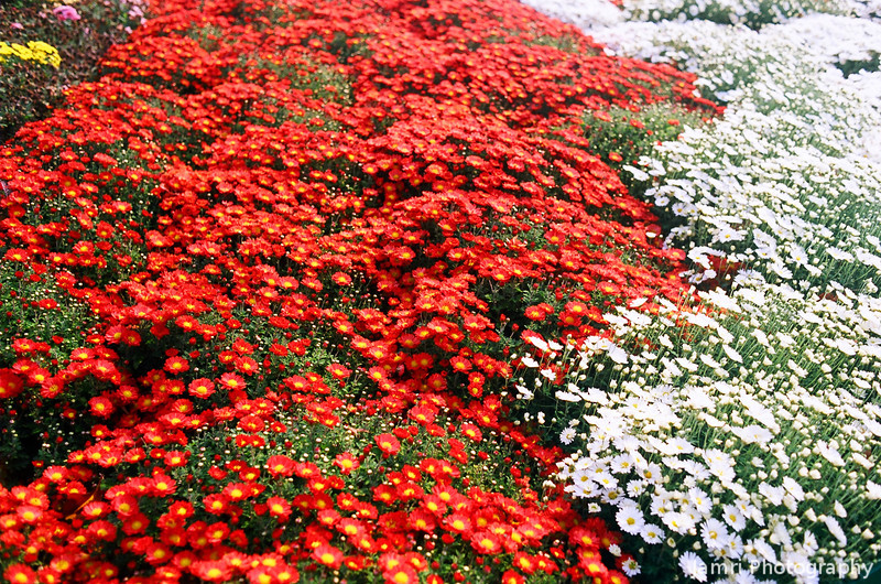 Red and White.<br /> Chrysanthemum's at Osaka Castle.<br /> Note Film Shot: Nikon F80 + 35f/2 Lens + Kodak Ektar 100