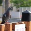 A pigeon at Shoryuji Castle