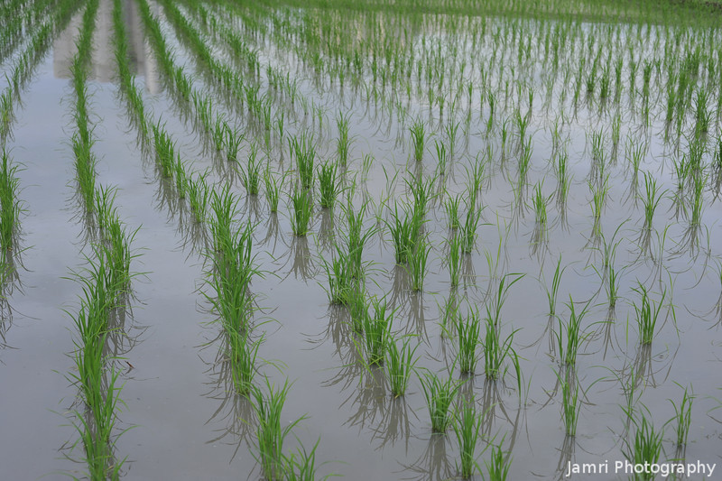 Rows of Green.<br /> The shoots of new rice, not long after they had been planted.