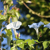 Three Morning Glories.<br /> It's been three weeks and the morning Glories seem to be out in greater numbers now.